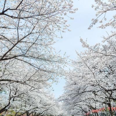 「上野恩賜公園の桜」の写真素材