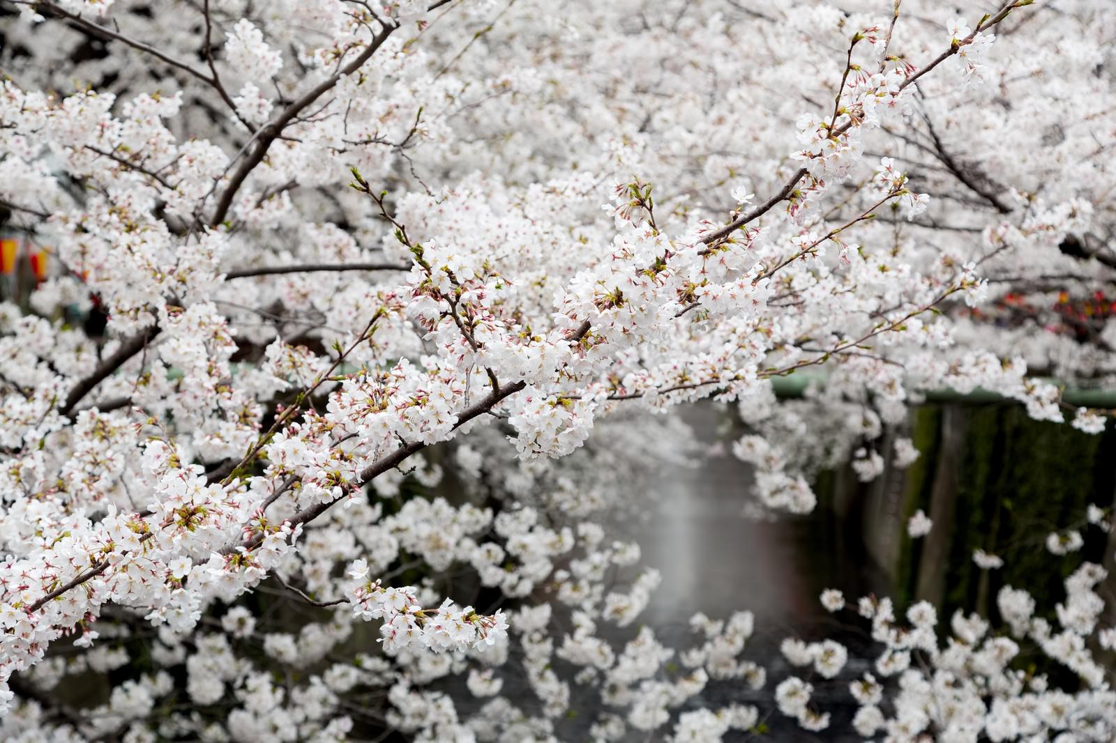「8部咲きの桜」の写真