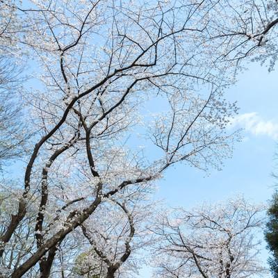 「青空と桜」の写真素材