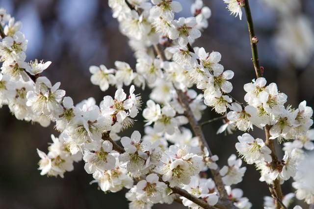 梅園の梅の写真