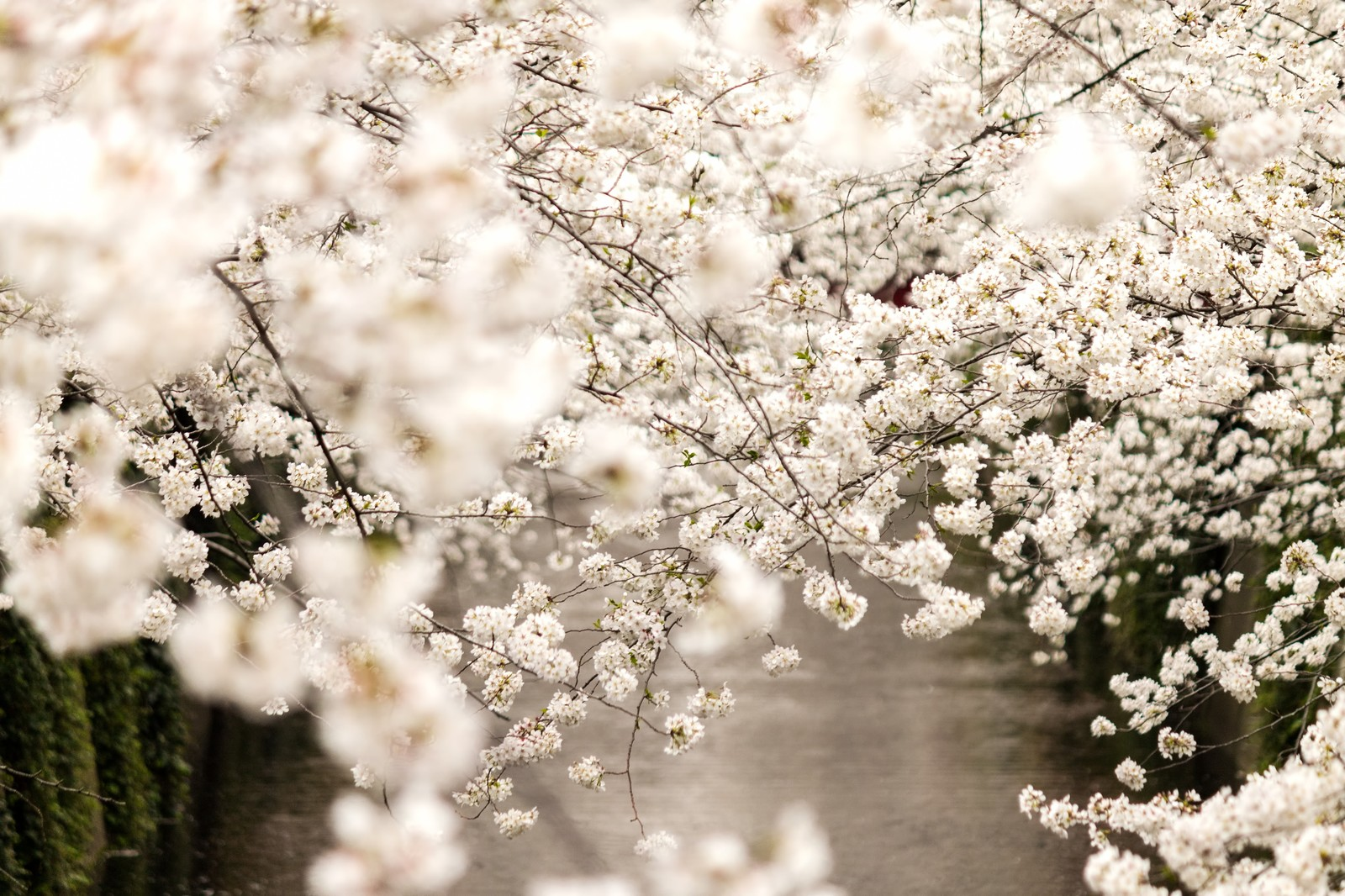 「春・桜満開春・桜満開」のフリー写真素材を拡大