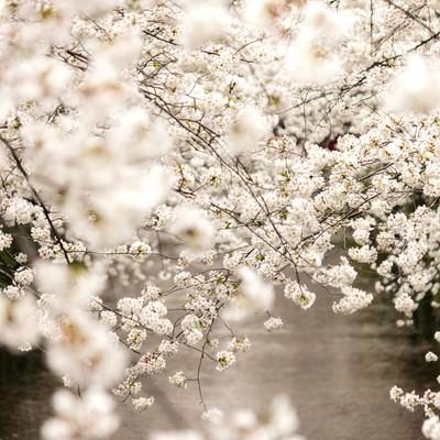 春・桜満開の写真
