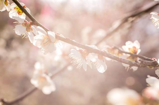 柔らかく暖かい日差しと梅の花の写真