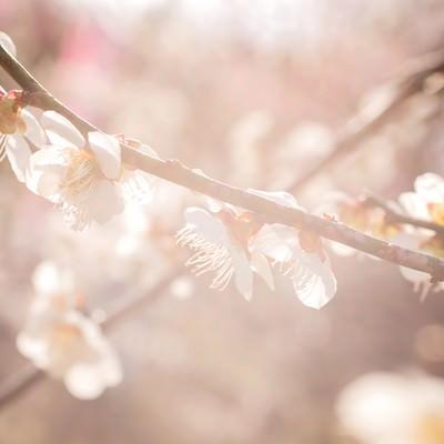「柔らかく暖かい日差しと梅の花」の写真素材