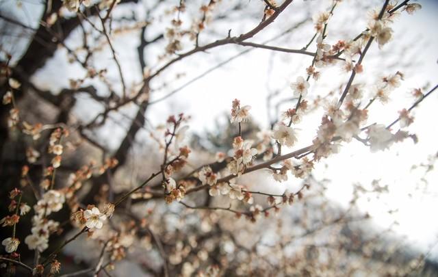 花が散り始めた梅の木の写真