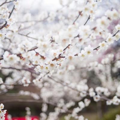 観梅会の赤い席と梅の花の写真