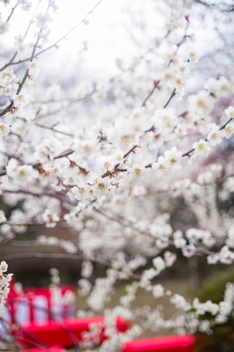 「観梅会の赤い席と梅の花」の写真