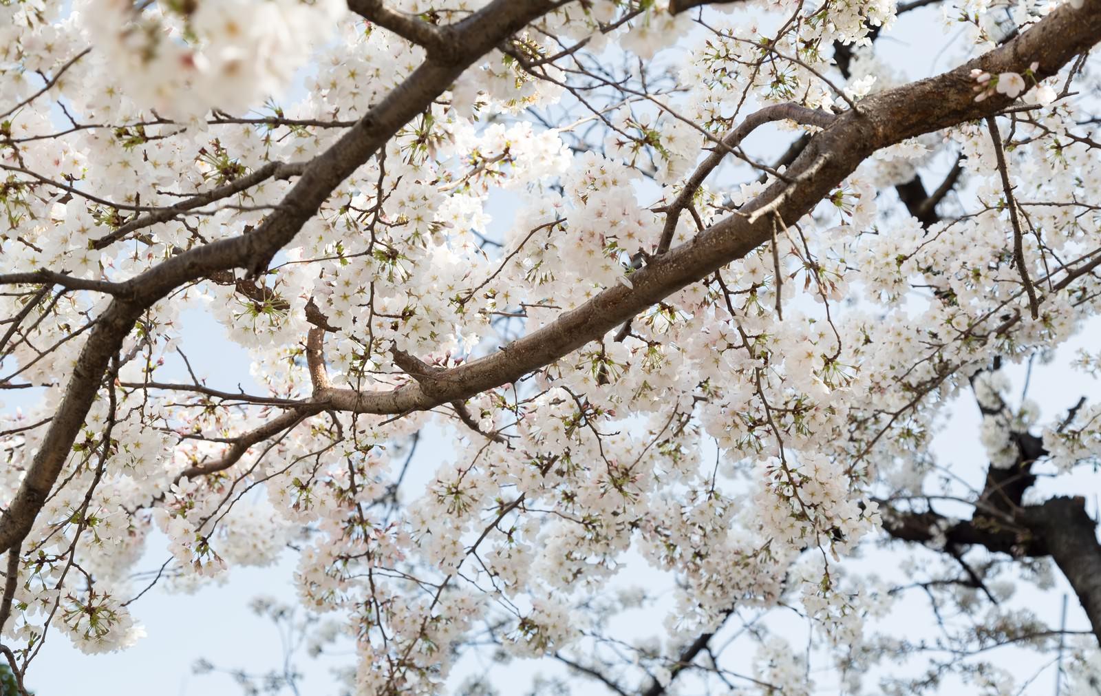 「観桜会の桜」の写真