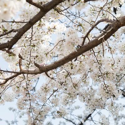 「観桜会の桜」の写真素材
