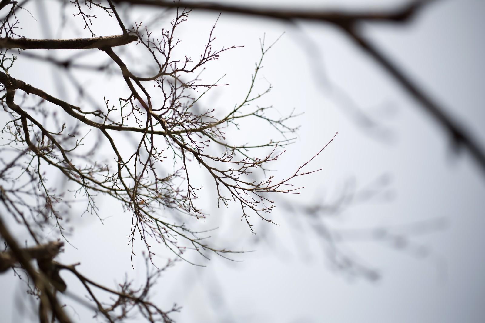 「春を待つつぼみの木」の写真