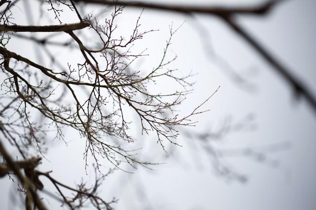 春を待つつぼみの木の写真