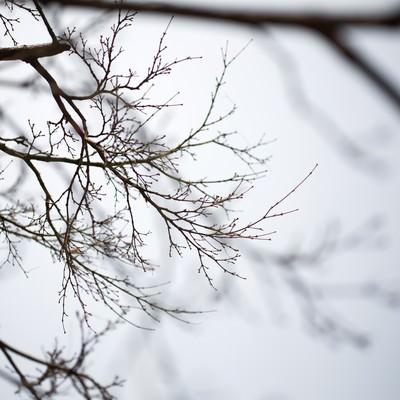 「春を待つつぼみの木」の写真素材