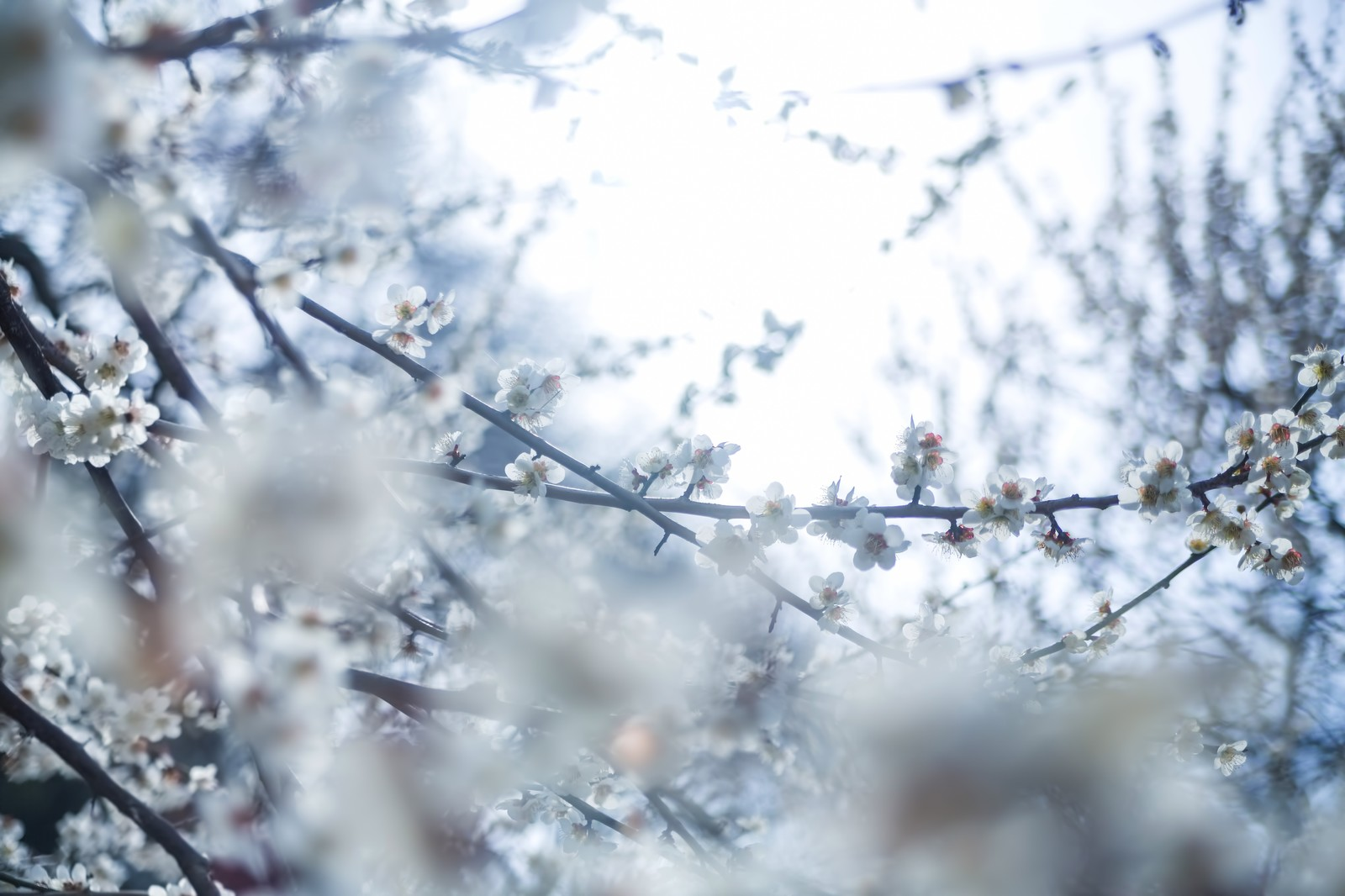 「冷たい日差しと梅の花」の写真