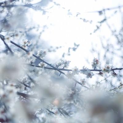 冷たい日差しと梅の花の写真