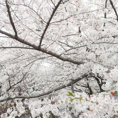 桜の木々の写真