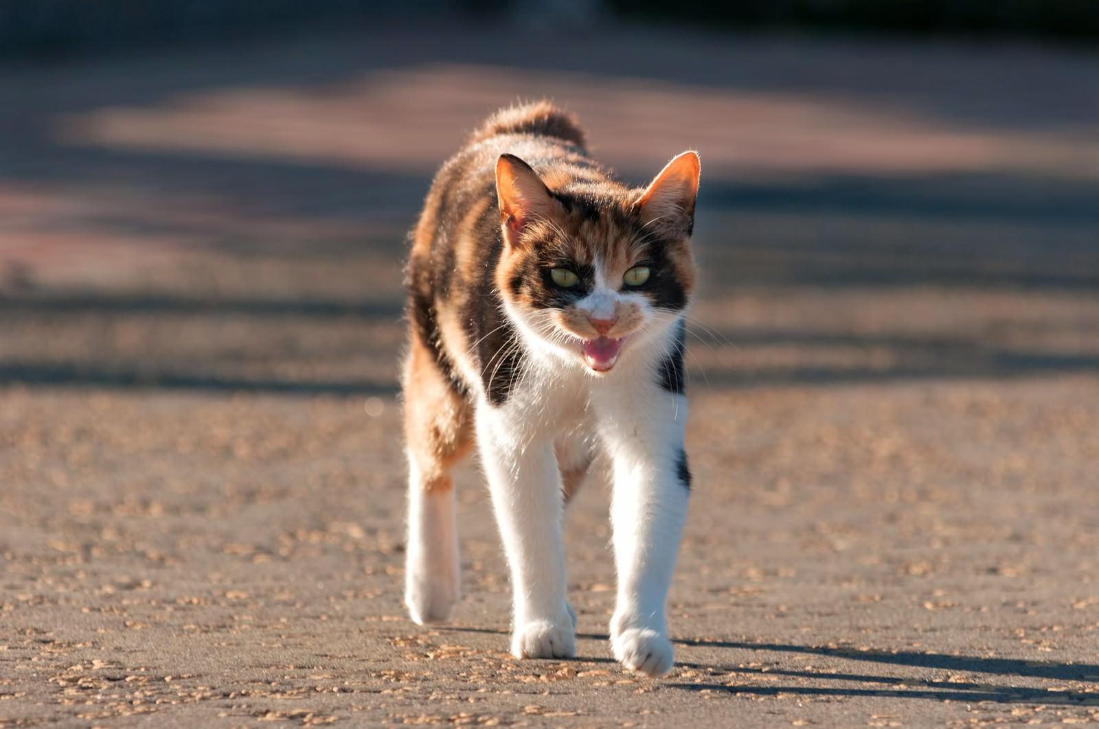 「威嚇する猫威嚇する猫」のフリー写真素材を拡大