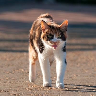 「威嚇する猫」の写真素材