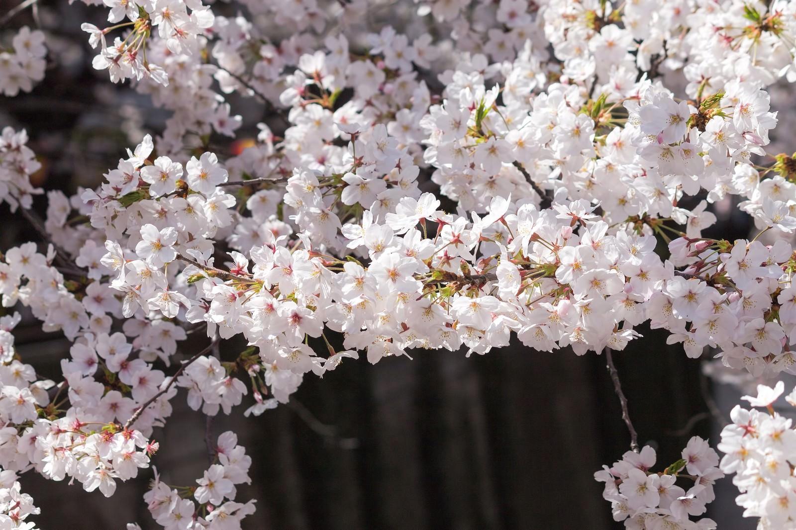 「河川の桜の木 | 写真の無料素材・フリー素材 - ぱくたそ」の写真