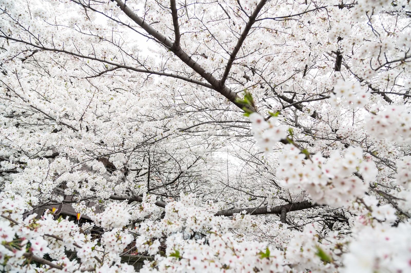 「満開の桜」の写真