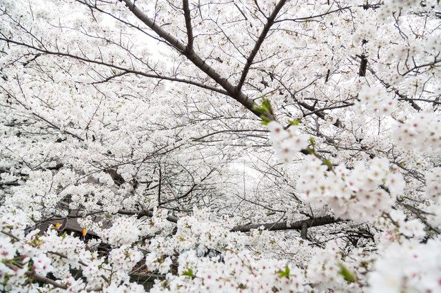 満開の桜の写真