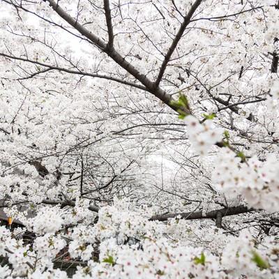「満開の桜」の写真素材