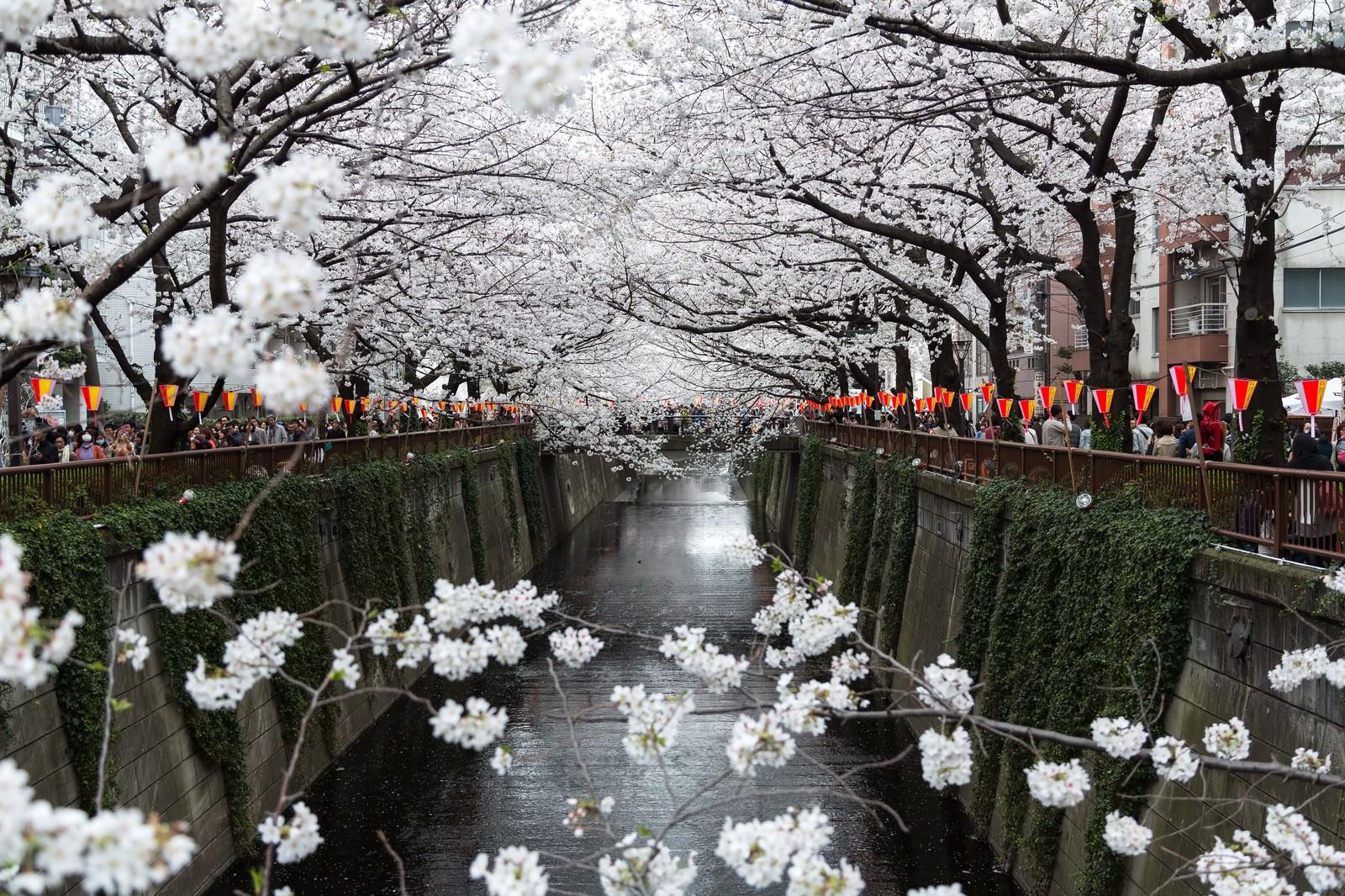 「両端が満開に咲く桜」の写真