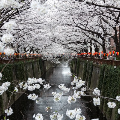 両端が満開に咲く桜の写真