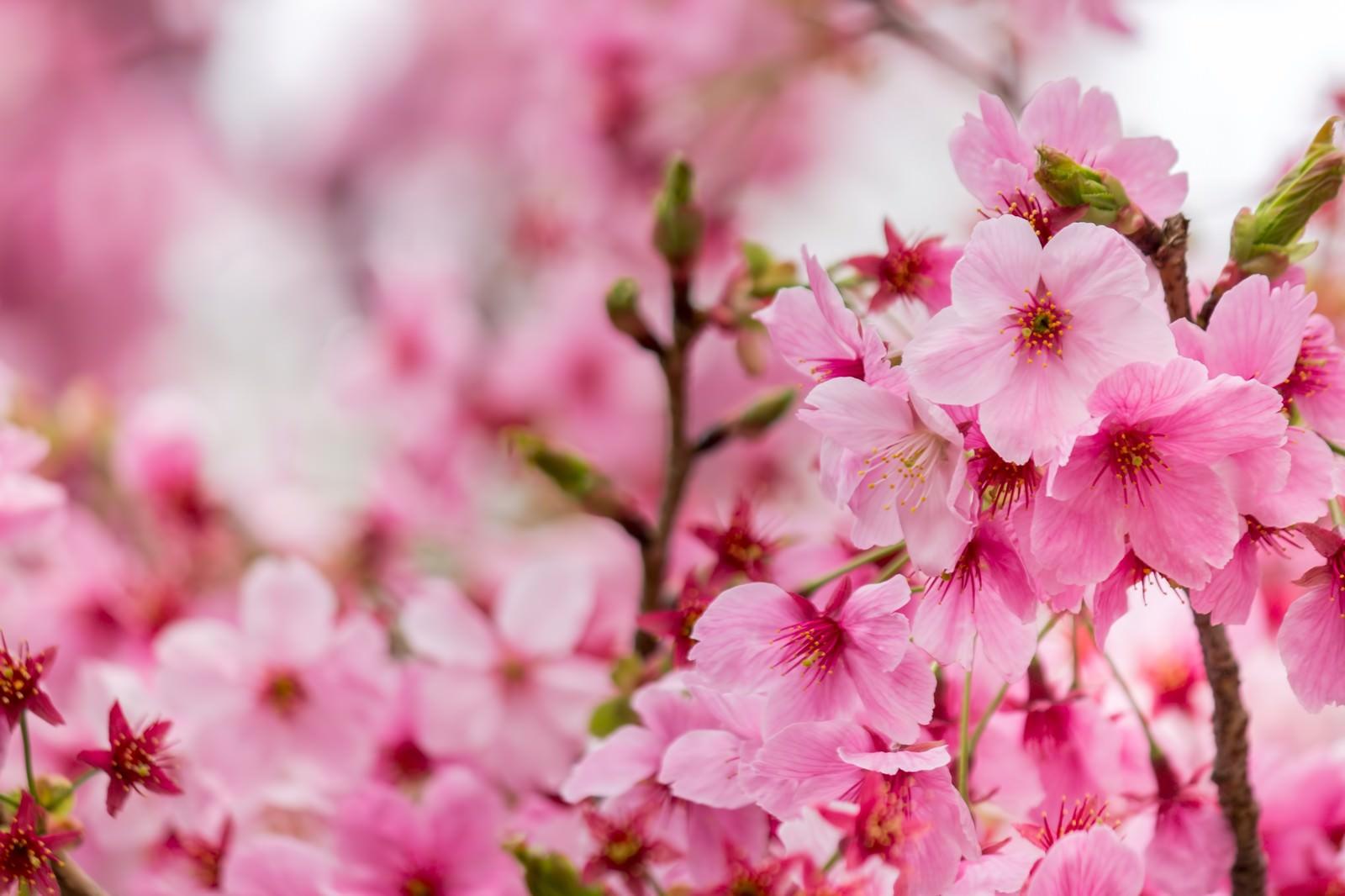 「濃い桜の花」の写真