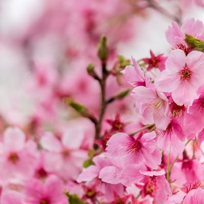 濃い桜の花の写真