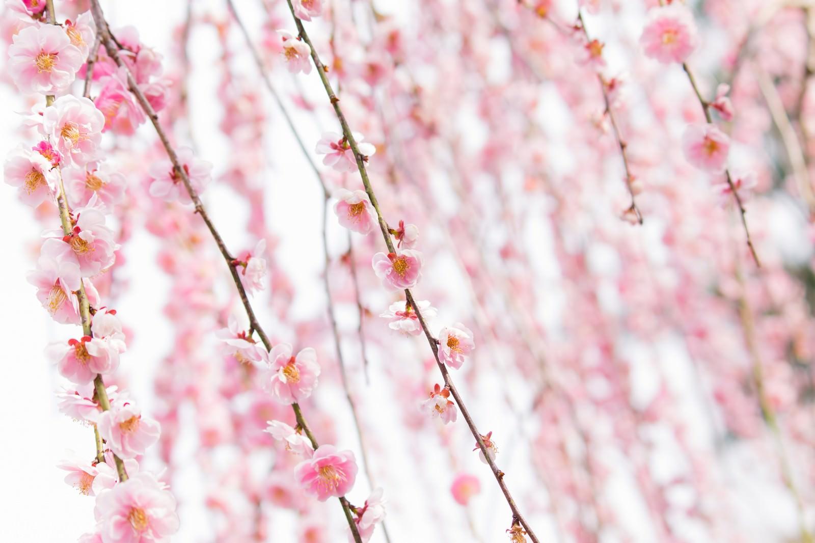 「ピンク色した梅の花」の写真