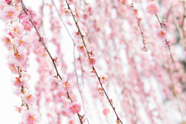 ピンク色した梅の花の写真