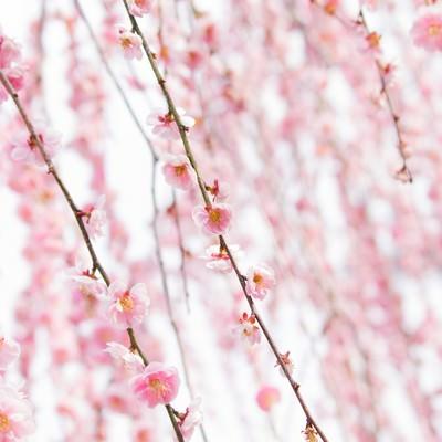 「ピンク色した梅の花」の写真素材
