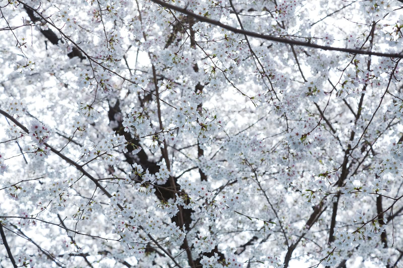 「一面の桜の花一面の桜の花」のフリー写真素材を拡大