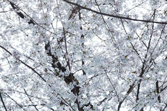 一面の桜の花の写真