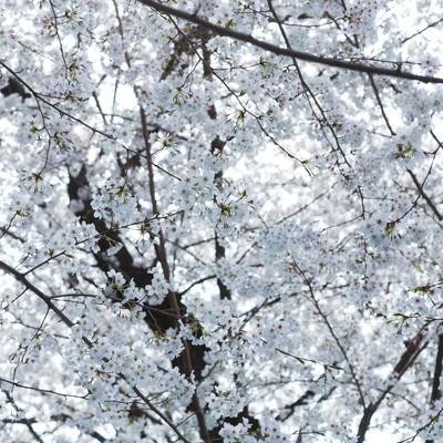 「一面の桜の花」の写真素材