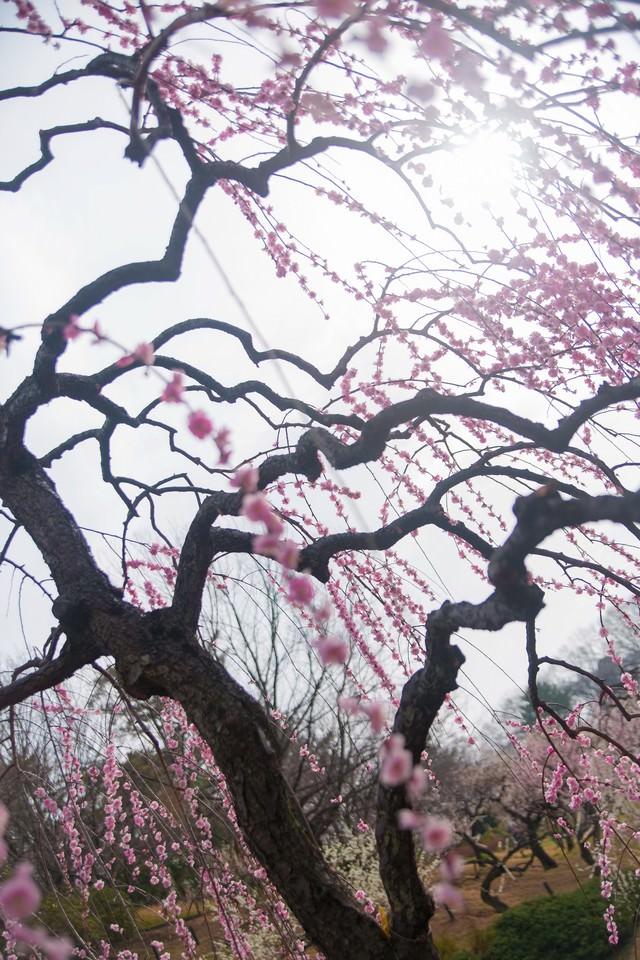 枝垂れ梅の写真
