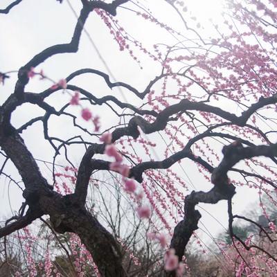 「枝垂れ梅」の写真素材
