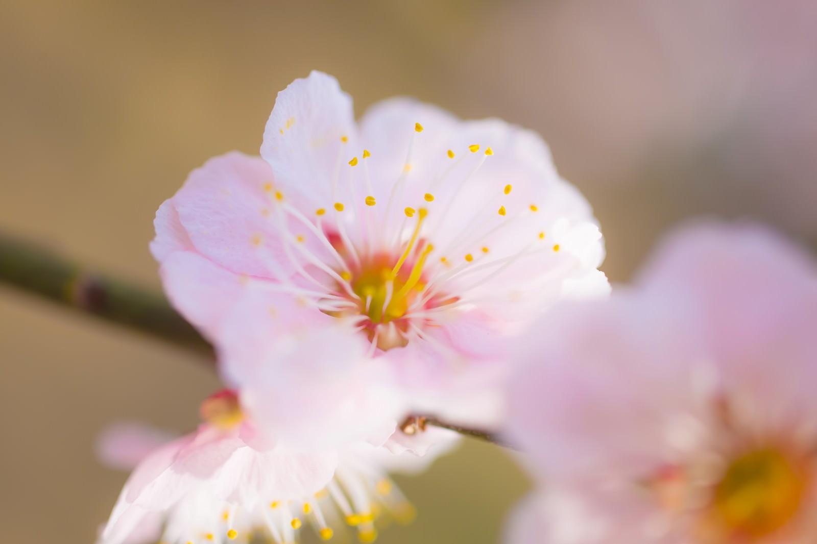 「梅の花」の写真