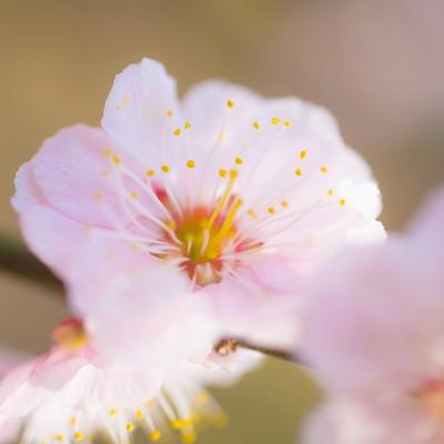 「梅の花」の写真素材