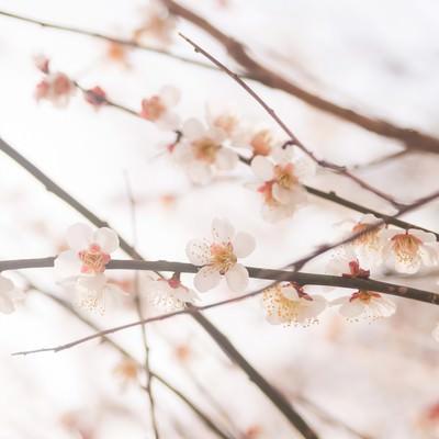「梅の花と春」の写真素材