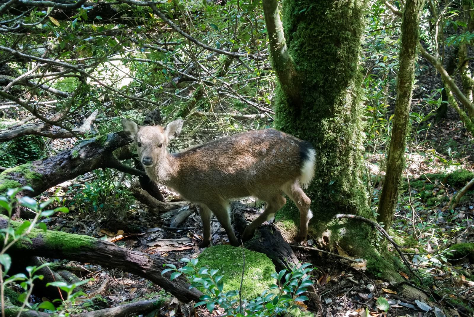 「屋久島の森の鹿」の写真