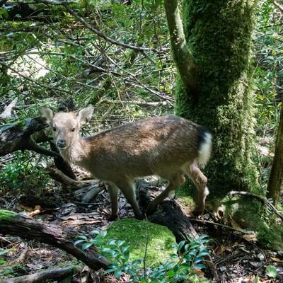 屋久島の森の鹿の写真