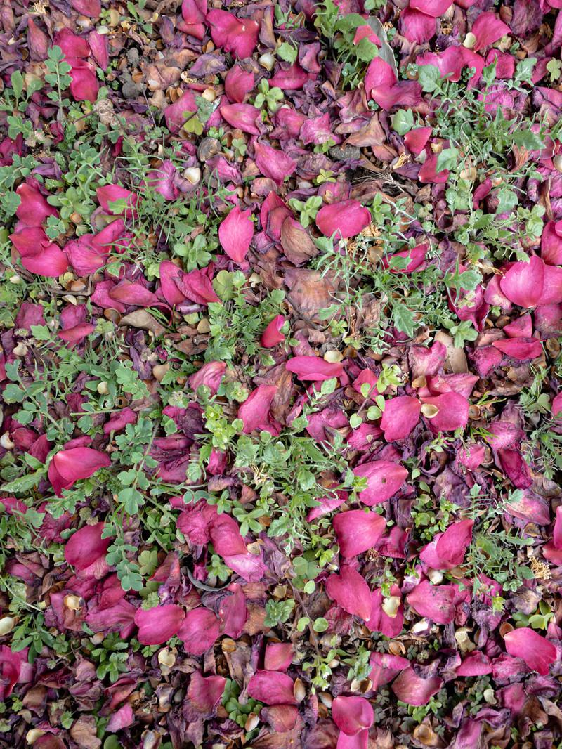 「地面に落ちた花びら(テクスチャ)」の写真