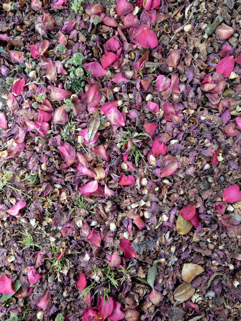 「落ちて朽ちる花弁(テクスチャ)」の写真