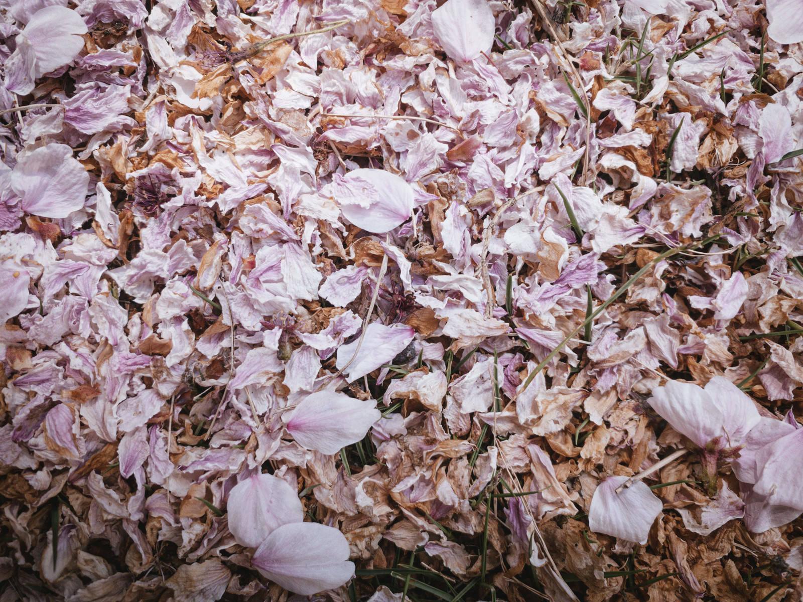 「枯れた桜の花びら」の写真