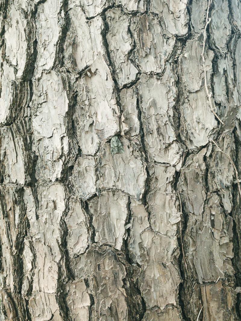 「鱗状の樹皮(テクスチャ)」の写真