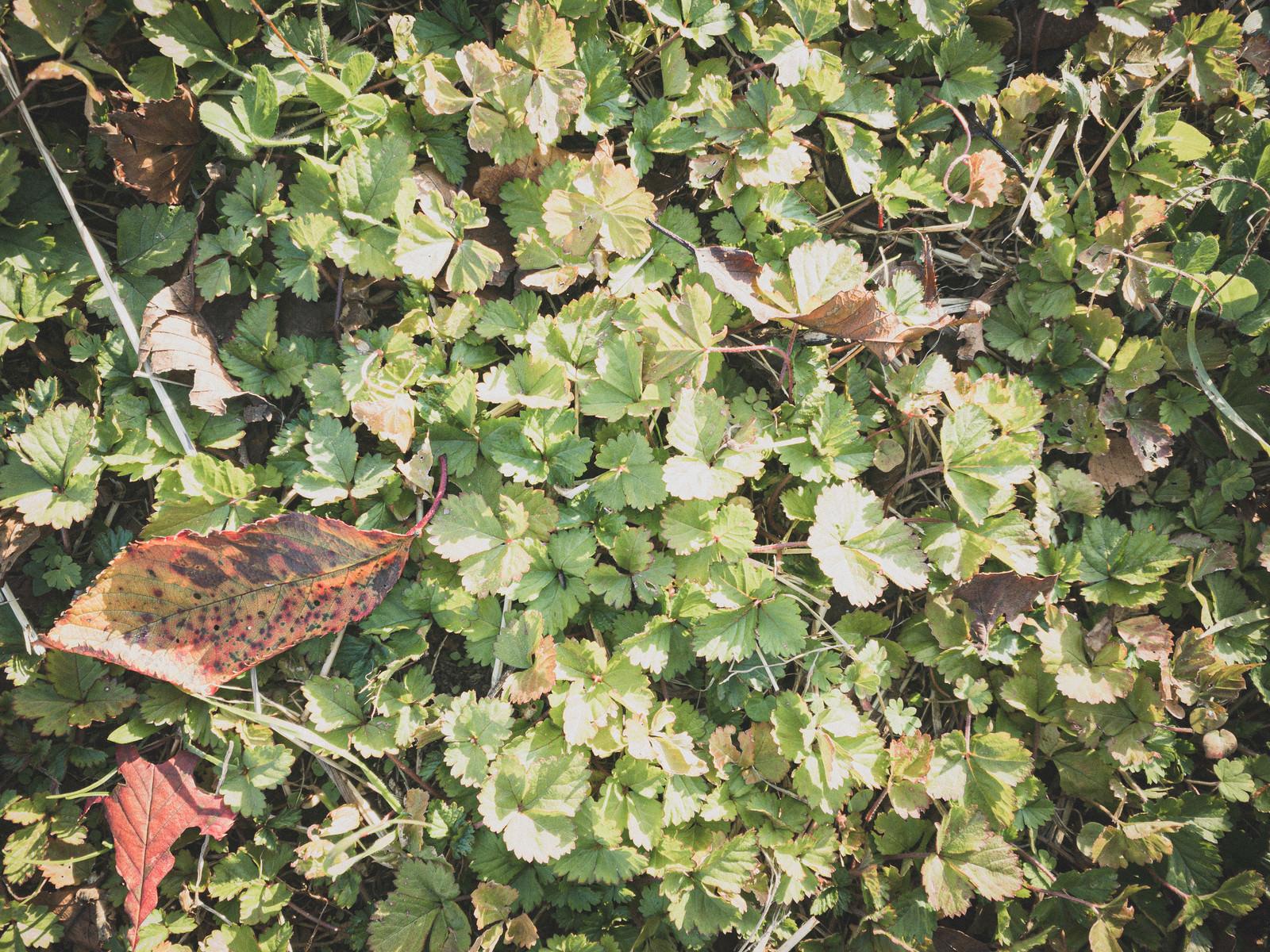 「雑草の中に落ちた枯れ葉(テクスチャ)」の写真
