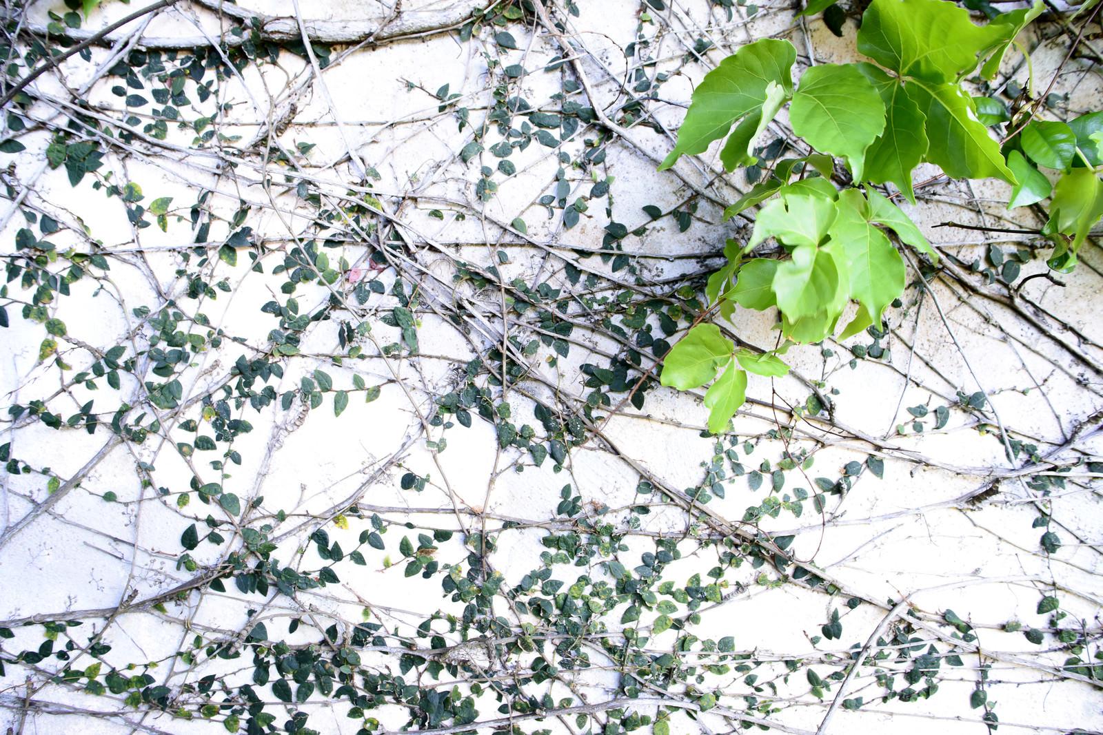 「白壁を覆う蔦」の写真