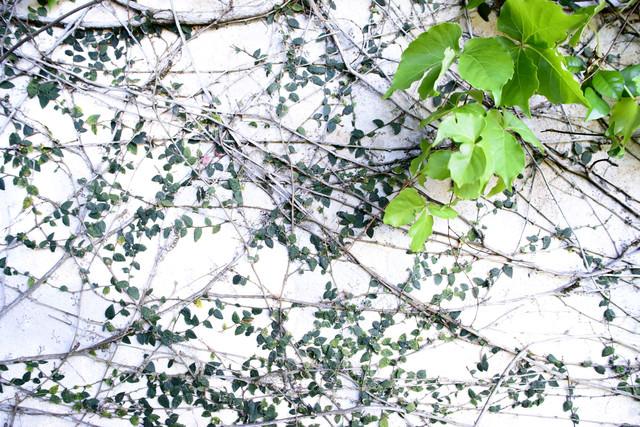 白壁を覆う蔦の写真