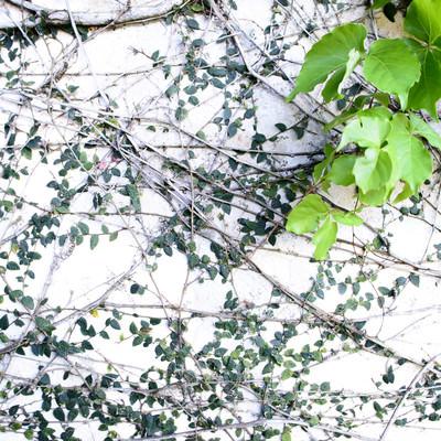 「白壁を覆う蔦」の写真素材